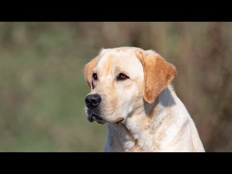 Labrador Retriever Training - Environmental Socialization and Obedience Under  Distraction
