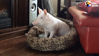Rescue Pig's Parents Are Obsessed With Her   The Dodo