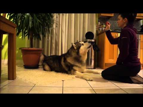 Alaskan Malamute Obedience Training