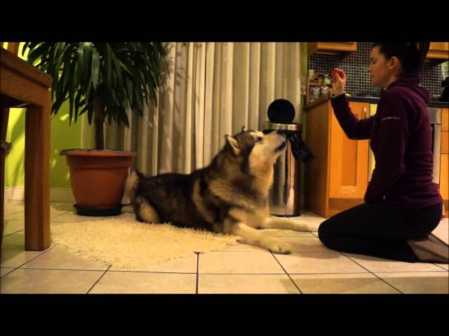 Alaskan Malamute Obedience Training Travel Video
