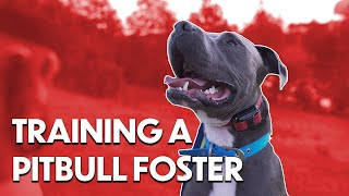 TRAINING A PITBULL | FOSTER TRAINING | CANINE PERFORMANCE