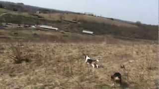 "Imperial Beagle Club 15"" Class Derby Trial March 20th. 2010"