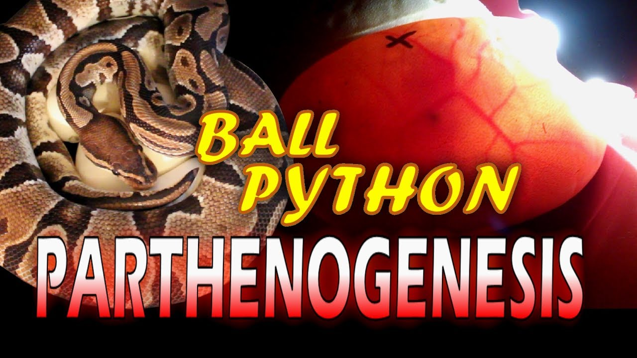 Ball Python Parthenogenesis (Part 1)