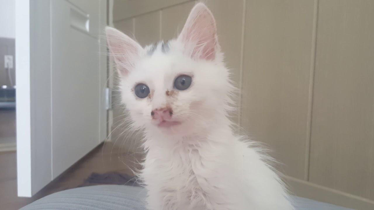 Turkish Angora Cat Kitten Short Hair D 57 1 Youtube