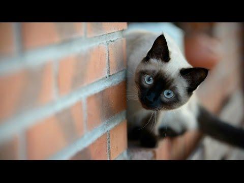 голос ориентальной кошки