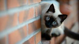 Сиамские Кошки (Тайские), Порода Кошек, описание, уход