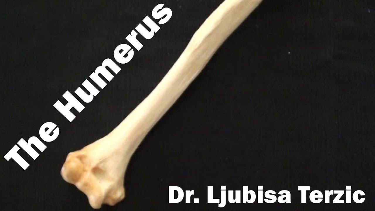 Human Anatomy Video: Humerus - YouTube