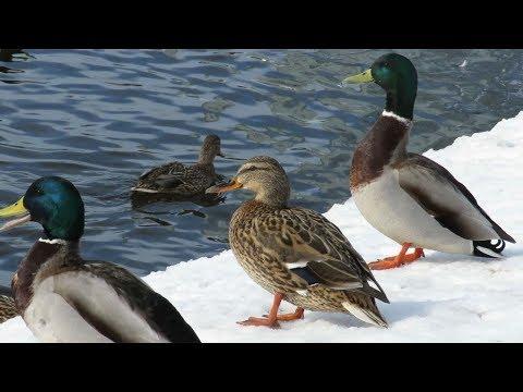Дикие утки в центре города, Wild ducks in the city center