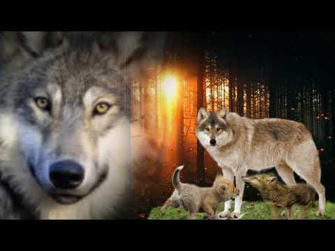 Любовь волков -как...