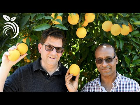 Citrus Tree Care - Fertilizing Citrus Trees And Other Questions Answered By Dr. Ashraf El-Kereamy