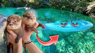 BABY OTTERS GO FOR FIRST BOAT RIDE IN FRESHWATER LAGOON ! WHAT HAPPENS ?!