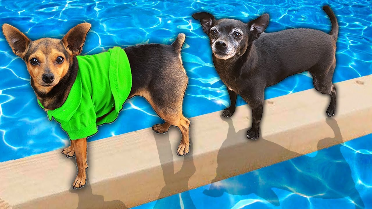 Last Dog to Fall in Pool Wins $10,000 Challenge! PawZam Dogs