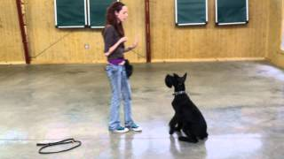 "Giant Schnauzer ""garrett"" 7 Month Obedience Demo Dog For Sale"