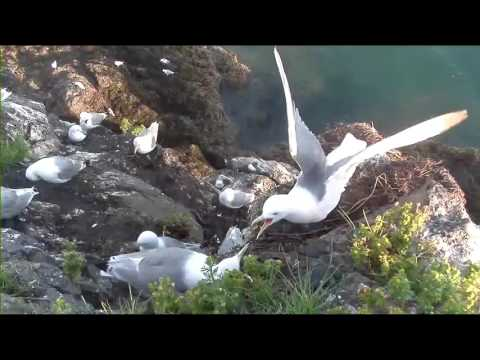 Cliff-Nesting Seabirds of Gull Island