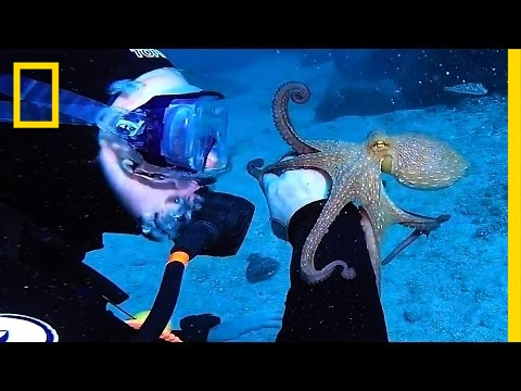 Cute Octopus Latches Onto Diver's Arm   National Geographic