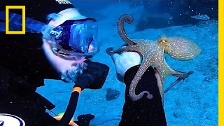 Cute Octopus Latches Onto Diver's Arm | National Geographic thumbnail
