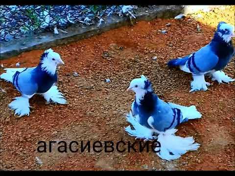 Агасиевские голуби