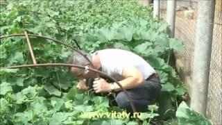 Доктор Попов-лечение гемороя огурцом