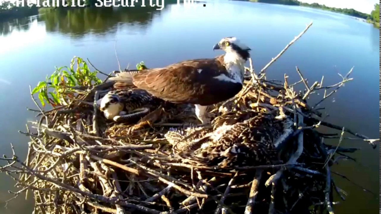 Kent County Ospreys Maryland 7 8 17 700pm one of the 2 osprets has a broken  Wing