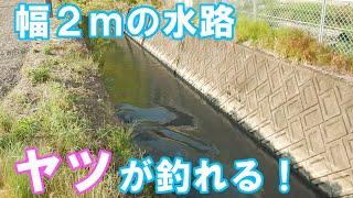 【釣りバイク】幅2mの水路でバズベイト引くとヤツが釣れる Bike buzzbait l