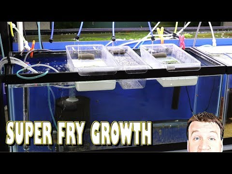 DIY Fry Hatchery: Growing Out Fish Fry And Eggs