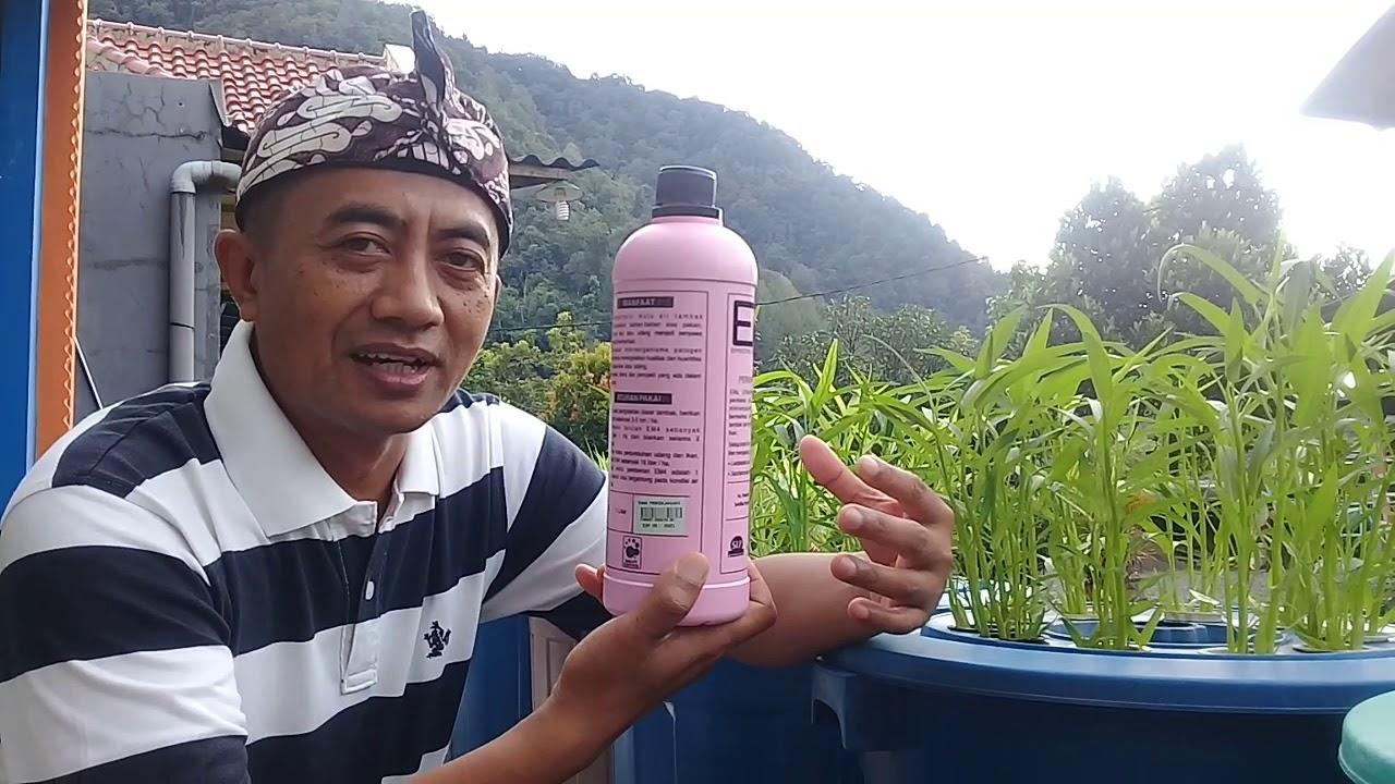Tata Cara Menyiapkan Air Agar Cepat Menghijau Budidaya ...