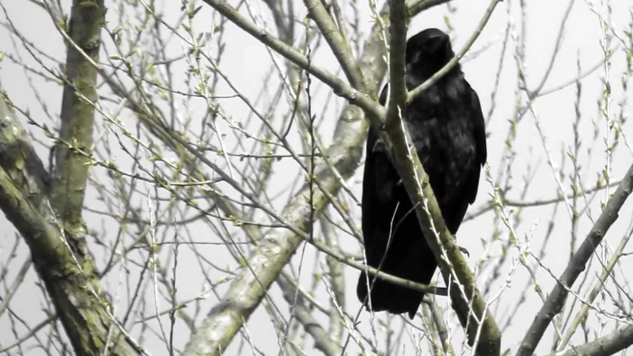 Fish crow calling youtube for Fish crow call