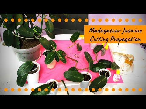 madagascar-jasmine-propagation-through-cuttings---4-ways-|-part-ii