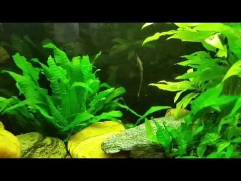 Coolie Loach Eel and Farlowella Catfish from YouTube · High Definition · Duration:  19 seconds  · 222 views · uploaded on 8/3/2014 · uploaded by Noswellicus