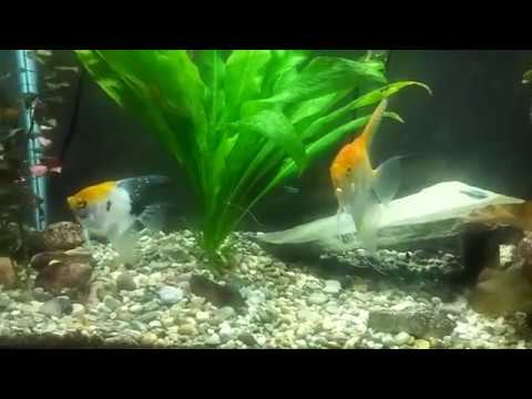 Neons And Angelfish In Harmony