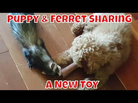 Puppy & Ferret Sharing A New Toy - Cute Animals Inside 3 - VOL. 29