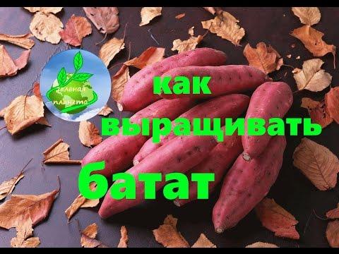 Как выращивать батат   выращивания   технология   выращивать   рассада   садить   батата   батат   как   potato   sweet