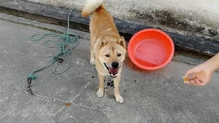中秋佳节吃月饼,也给中华田园犬小白阿黄灰灰尝尝,猜猜谁最爱吃。发布...