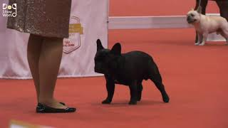 AKC NATIONAL CHAMPIONSHIP DOG SHOW   FRENCH BULLDOG BEST OF BREED