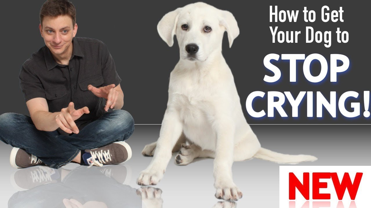 How To Get Your Puppy To Stop Crying And Whining Youtube