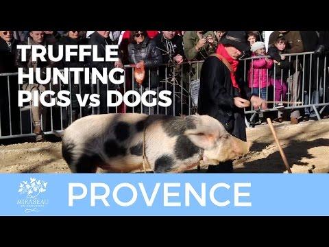 Provence Truffle Hunters: Dog Versus Pig.