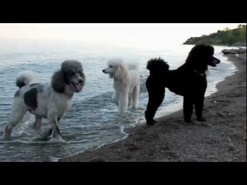 My Standard Poodles at the Beach