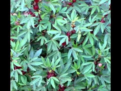 Roselle Tea Health Benefits