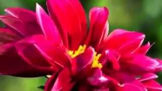 Слайд-шоу: Распускающиеся цветы любви(http://myvideonazakaz.ru/moi-uslugi Слайд-шоу: Распускающиеся цветы любви В мире цветов так тепло и прохладно, Целый букет..., 2014-05-24T15:46:43.000Z)