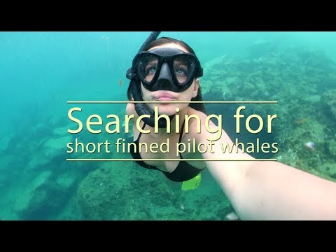 Searching for short finned pilot whales