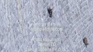 Alpine Ibex on Dam - hybridwildlife.com