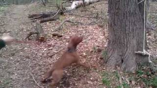 Staffordshire Pit Bull Terrier Tree Jump & Tire Swing