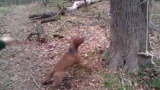 Staffordshire Pit Bull Terrier Tree Jump & Tire Swing