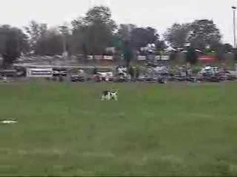 Frisbee Dog - Jack Russell Terrier II