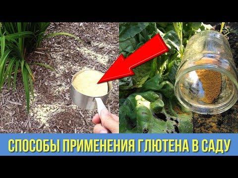 Применение ГЛЮТЕНА в саду и огороде ОТЛИЧНАЯ АЛЬТЕРНАТИВА химическим препаратам Дачные ХИТРОСТИ