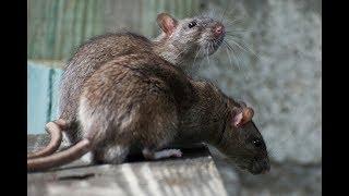 WARNING: EPIDEMIC OF RATS IN KENYA DURING TRIBULATION