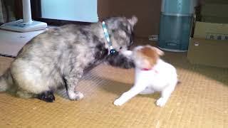 先住猫のミィ!に立ち向かう(遊んでる)茶太郎君です。