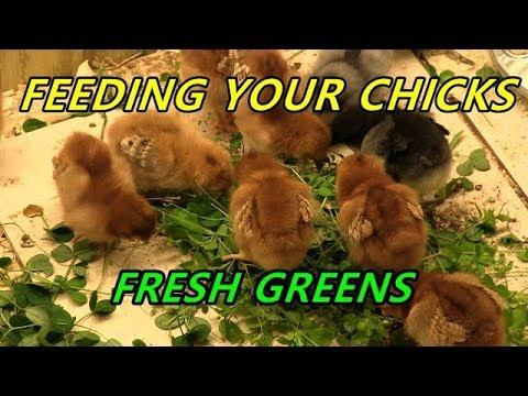 Feeding your chicks fresh greens - Natural probiotics and pasty butt prevention