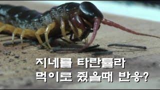 영강 타란튤라먹이로 중국왕지네를 줬더니 반응?