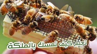 كيف تمسك بملكة النحل بكل احترافية وادخالها القفص